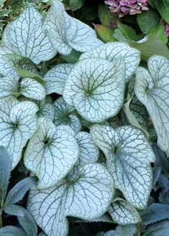 Brunnera macr. 'Alexander's Great'