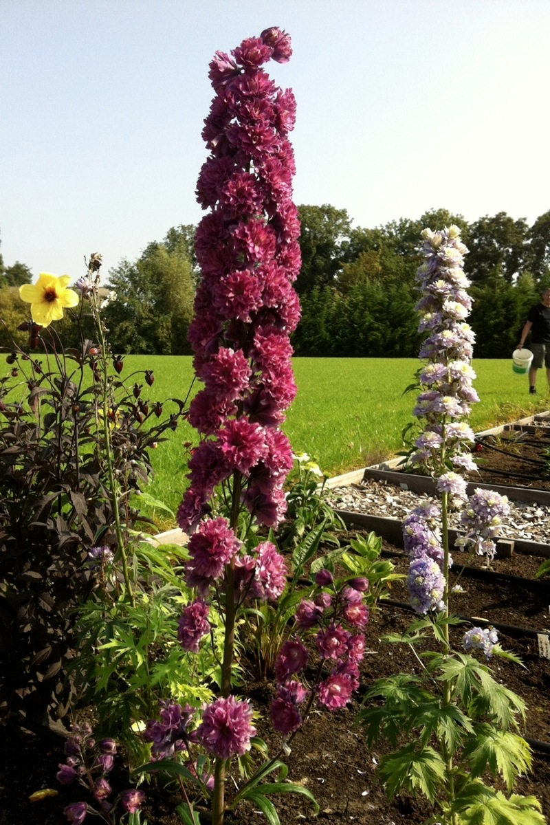 Delphinium Highlander 'Flamenco'