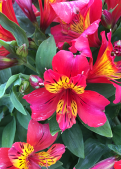 Alstroemeria Little Miss 'Vanessa'