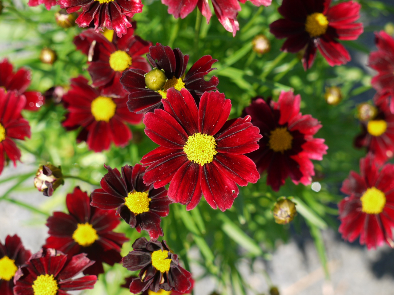 Coreopsis Little Bang Red Elf Gootjes Allplant Bv