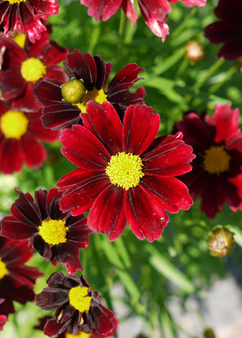 Coreopsis Little Bang 'Red Elf'