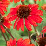 Echinacea 'SunSeekers Red'