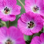 Geranium Jolly Jewel 'Hot Pink'