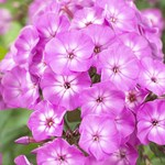 Phlox Famous 'Light Purple'