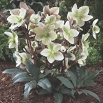 Helleborus 'Winter Sunshine'