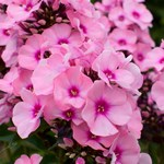 Phlox Famous 'Pink Dark Eye'