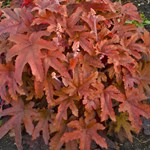 Heucherella 'Red Rover'