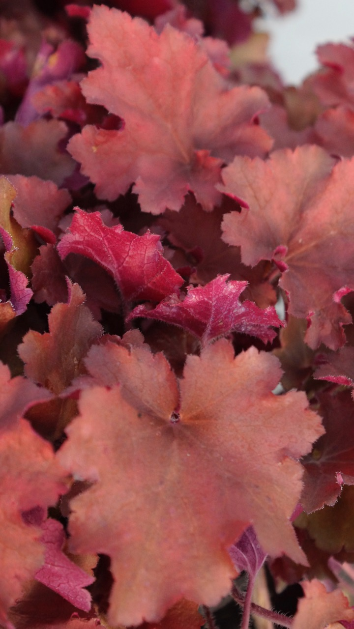 Heuchera 'Tayberry'