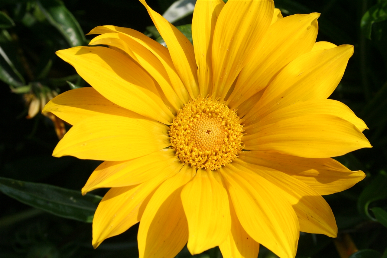 Gazania Giant 'Deep Yellow'