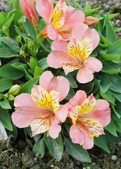 Alstroemeria Little Miss 'Davina'