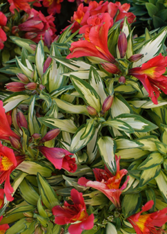 Alstroemeria Little Miss 'Zoë'