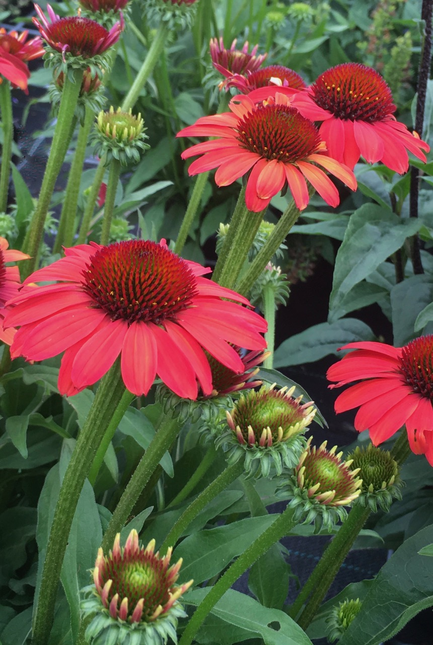 "Echinacea ""SunSeekers Coral"""