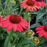 Echinacea 'SunSeekers Coral'
