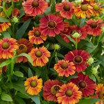 "Helenium ""Strawberry Sundae"""