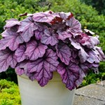 "Heuchera ""Pink Panther"""