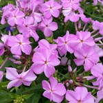 "Phlox ""Rose Bouquet"""