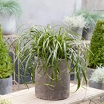 "Carex ""Ribbon Falls"""
