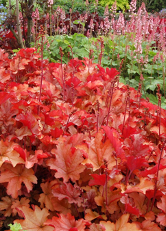 Heuchera 'Peach Flambé'