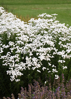 Achillea 'Peter Cottontail'