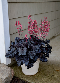 Heuchera 'Timeless Night'
