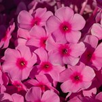 Phlox Famous 'Pink'