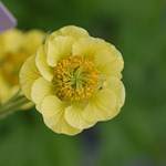 Geum 'Banana Daiquiri'