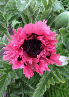 Papaver 'Pink Perfection'