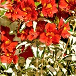 Alstroemeria 'Rock 'n Roll'