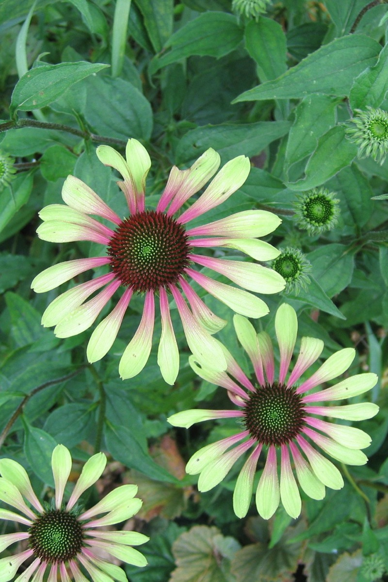 echinacea 39 green envy 39 gootjes allplant bv. Black Bedroom Furniture Sets. Home Design Ideas