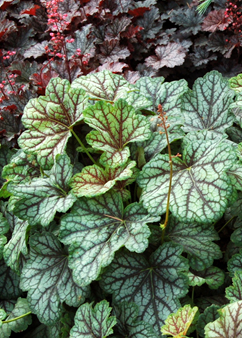 Heuchera 'Green Spice'