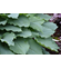Hosta 'Shadowland ™ Diamond Lake'